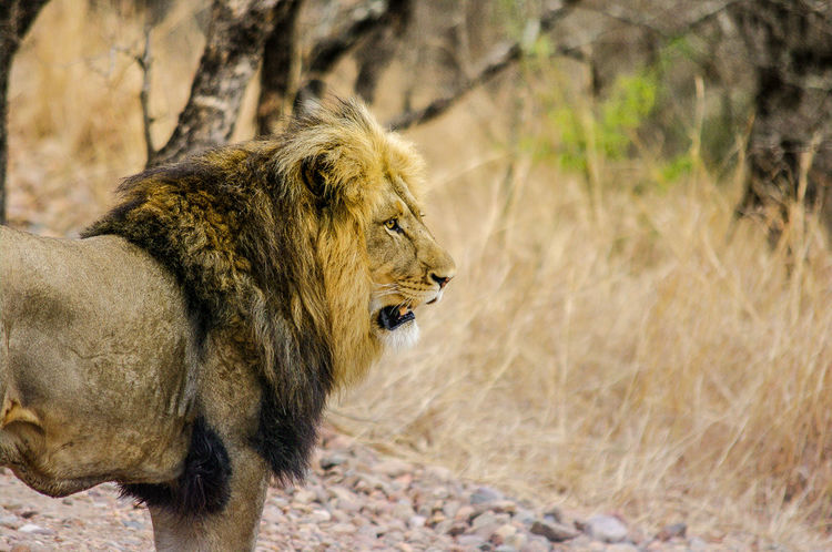 Lion Animal Animals Big Five King Lion Lion Head Lions Lions Mane Mane Nature Nature Photography Nature_collection Naturelovers Pentax Safari South Africa Wild Wilderness Wildlife Wildlife & Nature Wildlife Photography