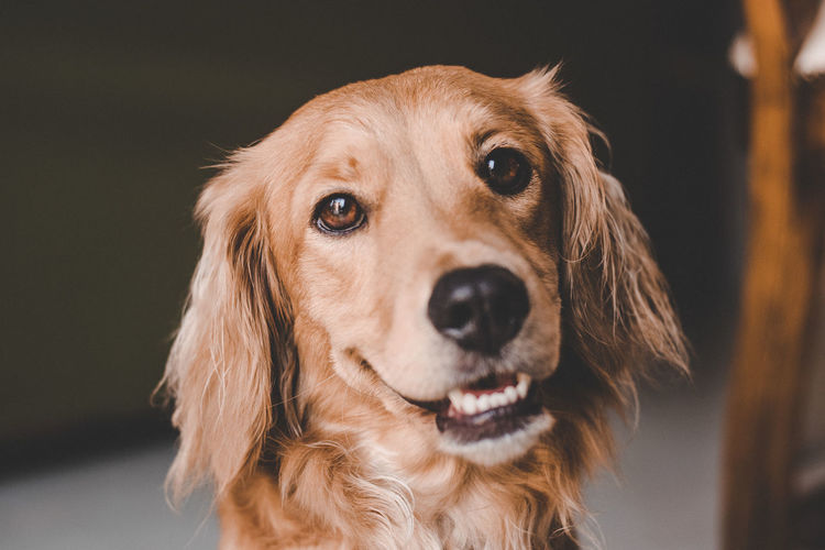 Close-up portrait of golden retriever