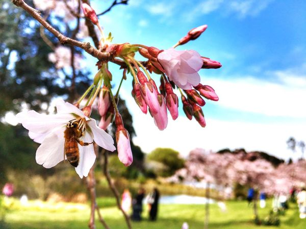 IPhone Photography Bees And Flowers Sakura Blossom Palmerston North Nz