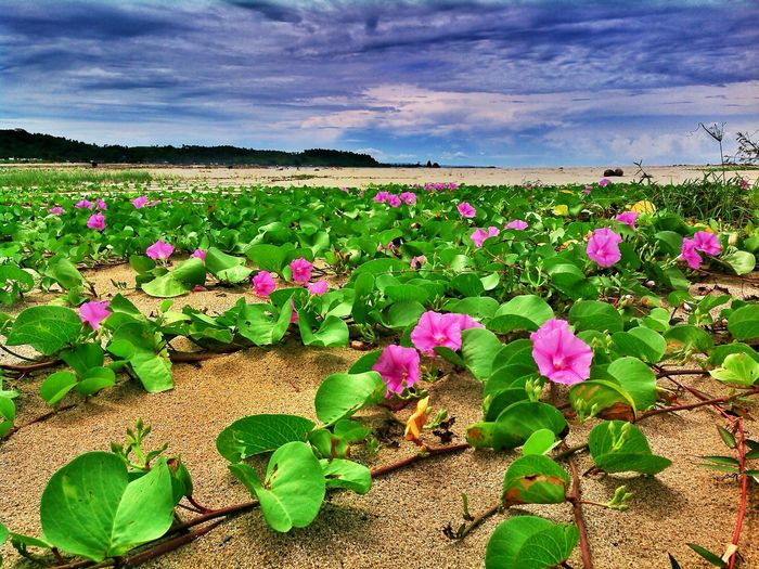 Hamparan Landscape Purple Flower Nature Flowers