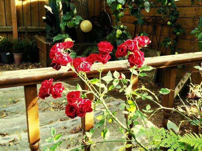 Flowers In Garden Enjoying The Sun ☀ Red Roses🌹 Taken on a Oneplusone Colour Of Life