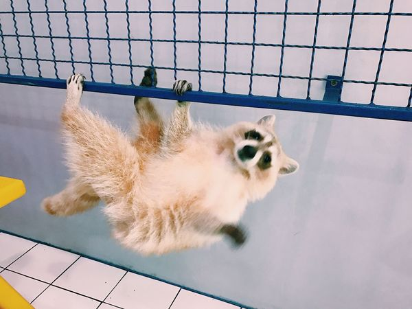 Raccoon Raccoon Lover Pet Say Hi Hello World Smile Greeting Happy Fur Furry Friends Relaxing Chill Daydreaming Holiday Pet Cafe Animal Mammal Cute Pets Cute Cute Racoons Funny FUNNY ANIMALS Moments Pets Pet Photography