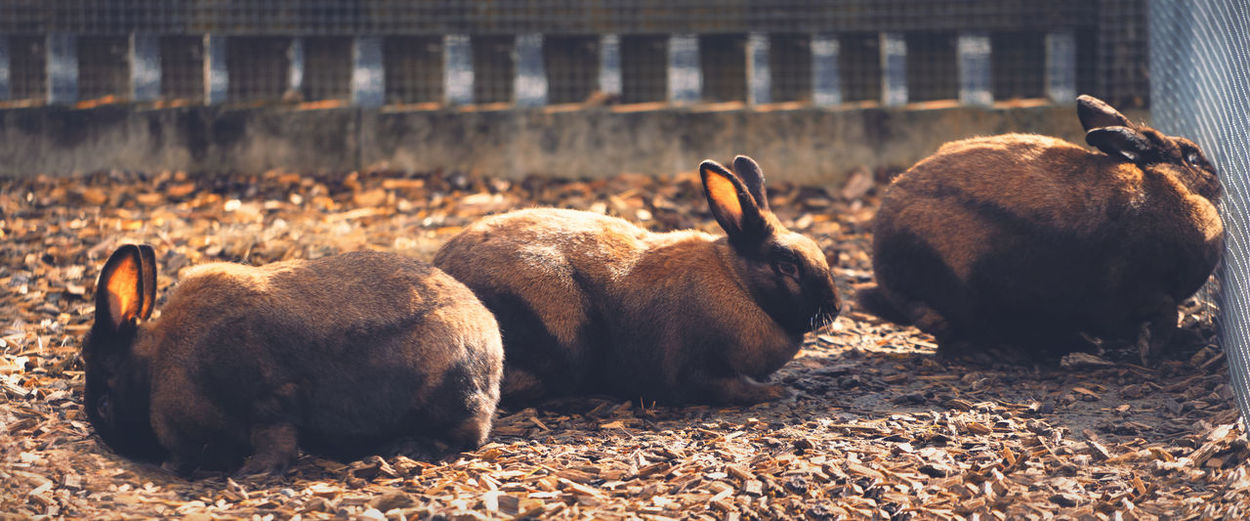 Group of brown rabbits behind a fence Rabbits Easter Animal Themes Animal Mammal Group Of Animals Vertebrate Nature Relaxation Day No People Animal Wildlife Brown Sunlight Pets Domestic Animals Animals In The Wild Domestic Focus On Foreground Resting Outdoors Land Herbivorous Nature