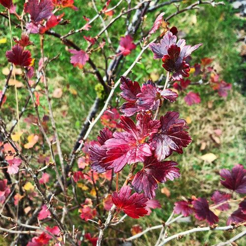 Gooseberry in the fall Autumn Leaves Goosebberries In Fall Gardening Gooseberries In Autumn Autumn Is Coming Fall Fall Leaves Gooseberry Bush Gooseberry Autumn colors