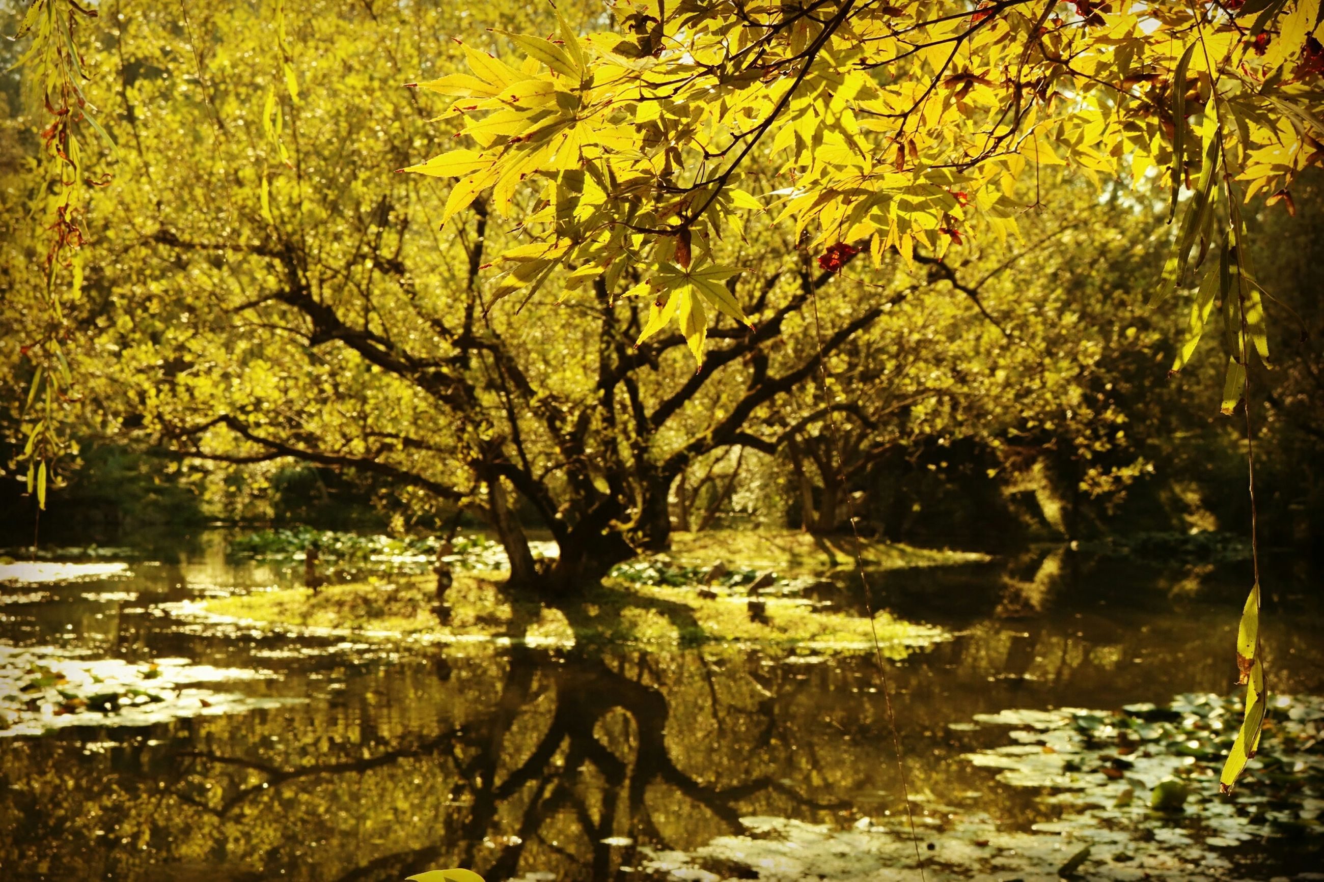 tree, nature, reflection, branch, yellow, water, beauty in nature, tranquility, lake, tranquil scene, idyllic, growth, no people, autumn, outdoors, forest, scenics, romantic, willow tree, day