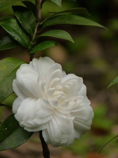Camellia Camellia Camellia Japonica Beauty In Nature Camellia Flower Camellia Flowers Close-up Day Flower Flower Head Flowering Plant Focus On Foreground Fragility Freshness Growth Inflorescence Leaf Nature No People Outdoors Petal Plant Plant Part Rosé Vulnerability  White Color