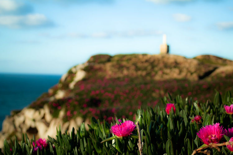 la primavera ya está aquí Flower Flower Head Sea Eastern Purple Coneflower Cliff Flowerbed Purple Springtime Idyllic Sky