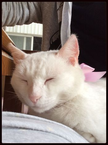 White Cat Pink Ribon