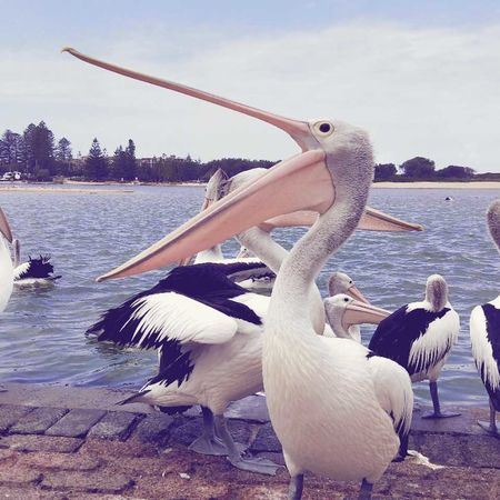 one for the camera. Swan river. Perth Pelicans. Water The Traveler - 2018 EyeEm Awards