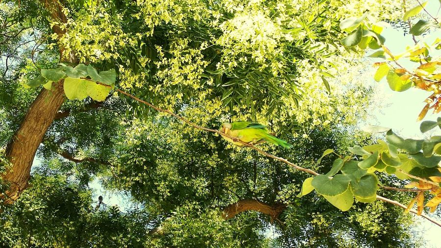 Tree Where Is The Parrot Parrot SPAIN Andalusia Sevilla Green Parrot Papagei Summer Bird Nature Animal Cadiz Grüne Blätter