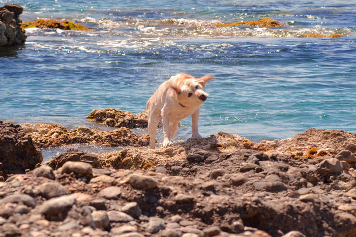 Hera the white labrador retriever after her swim Blue Sea Dog Swimming Labrador Sunny Animal Themes Beach Day Dog Domestic Animals Motion Nature No People One Animal Outdoors Pets Retriever Sea Standing Water Wave White Labrador