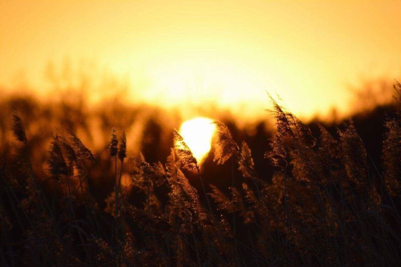 Sunset Nature Growth Beauty In Nature Sunlight Plant Yellow Field Sun Sky
