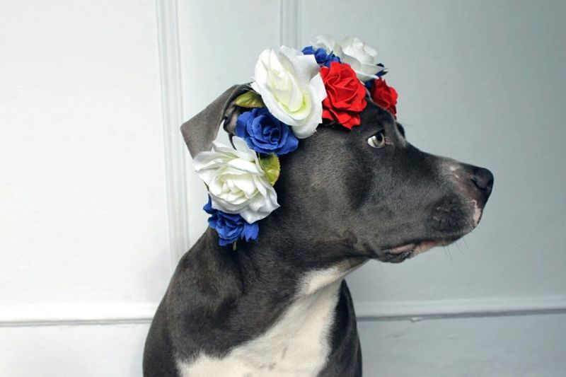 Always Be Cozy Pets Dog One Animal Domestic Animals Animal Blue Eyes American Bully American Stanford  Lovely Cute Pets Puppy Blue Lovedogs Crown Roses Handmade For You