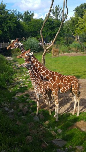 Inlovewithgiraffes Giraffe Giraffes Zoophotography Zoo Zoo Animals  Blijdorp Rotterdam Blijdorp Netherlands EyeEmNewHere Travel Wanderlust Animalphotography Animals Beautifulanimal Beautifulscenery Sunshine Nature_perfection Naturelovers Nature Photography Nature