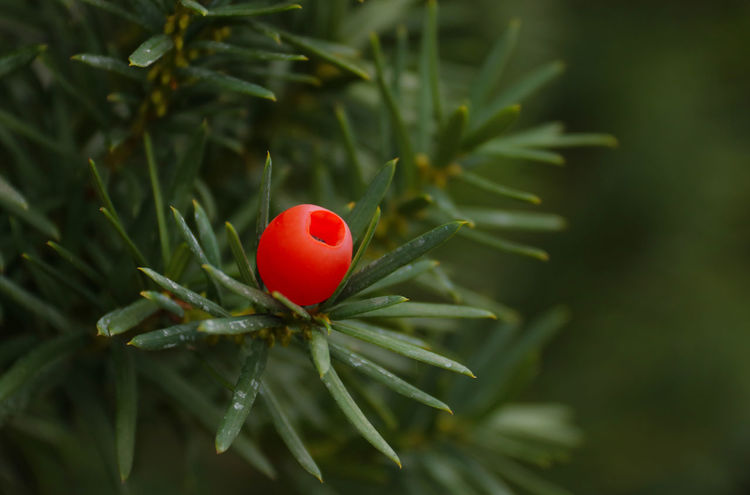 Taxus baccata Taxus Beauty In Nature Berry Close-up Food And Drink Freshness Green Color Growth Nature No People Outdoors Plant Poisoning Poisonous Red Taxus Baccata Tree