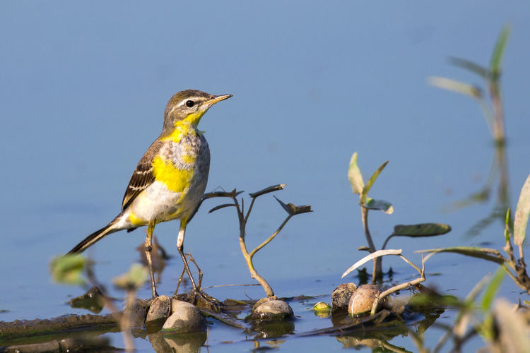 Image of Bird Eastern Yellow Wagtail (Motacilla tschutschensis) Wild Animals. Yellow Wagtail Bird Eastern Flava Nature Motacilla Beautiful Wild Sitting Animal Green Background Wildlife Songbird  India Winter Natural Small West Scientific Wetland Bengal Colorful Field Animals Song Birds Singing Migratory Food Outdoors Europe Countryside Indian Feather  Alert Sing Ornithology  Wagtails Migrant Twitter Yellow-wagtail Motacilla-flava Beauty White Cute Spring Tree Branch