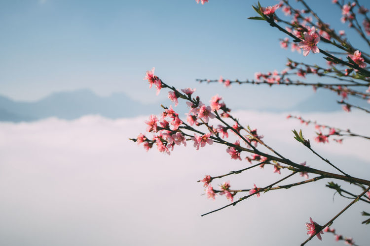 Plant Tree Branch Beauty In Nature Flower Flowering Plant Growth Sky Fragility Nature Freshness Vulnerability  Low Angle View Day Springtime Pink Color Focus On Foreground No People Blossom Close-up Outdoors Cherry Blossom Change Cherry Tree