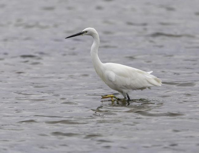 Little Egret in