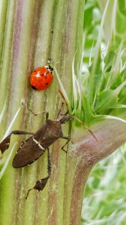 Animal Themes Insect Close-up Leaf Animals In The Wild One Animal No People Nature Animal Wildlife Plant Green Color Day Spotted Outdoors Ladybugs Lucky Thorny Bush Pollination Green Color Growth Fragility Animals In The Wild Insects In Action Thorn Sharp Points