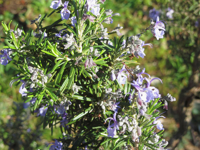 Rosemary plant with flowers in Tuscany, Italy Flavorful Herb Plant Rosemary Anthos Aroma Aromatic Blooming Blossom Evergreen Flower Food Herbal Medicine Ingredient Lamiaceae Odoriferous Purple Rosmarinus Rosmarinus Officinalis Savory Shrub Spice Spring Vegetable Violet