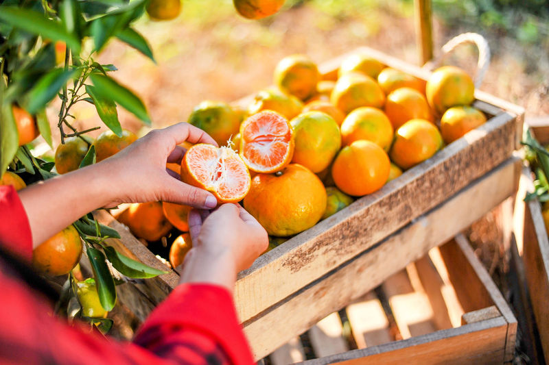 Cropped hands of woman holding orange fruit in garden