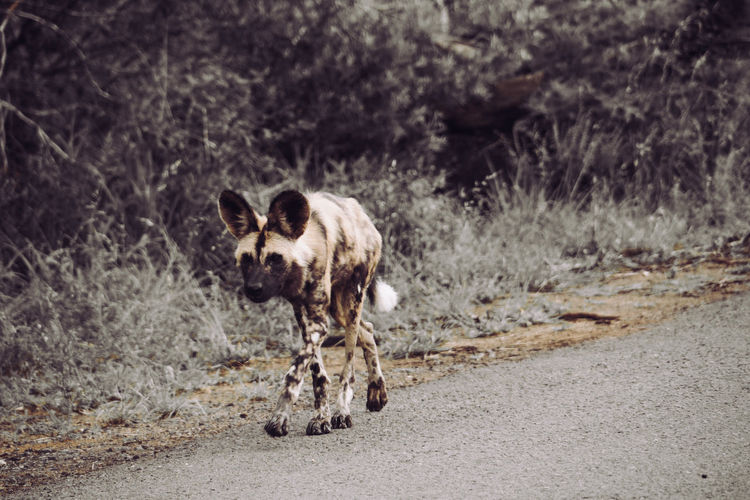 African Wild Dog on the edge of existence Travel Travel Photography Wildlife Wildlife Photography South Africa Wild Dog National Park Kwazulunatal Wild Nature Reserve African Safari Africa African Wild Dog First Eyeem Photo
