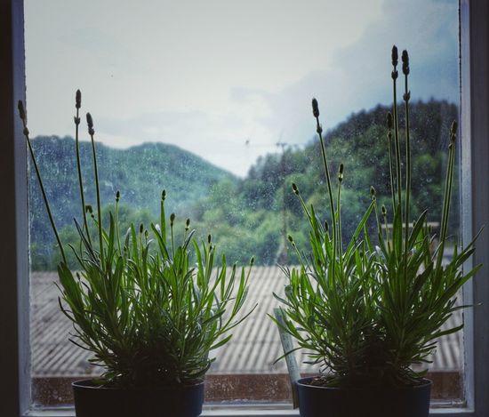 Lavanda Lavanda Lavander Plants Home Interior Garden Photography Window View Sony Kit Lens Herbs