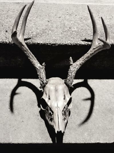 Black And White Photography Black & White Photography Skull Art Deer Hunting Big Buck Close-up No People Deer Horns Outdoors Antler Art Beauty In Nature