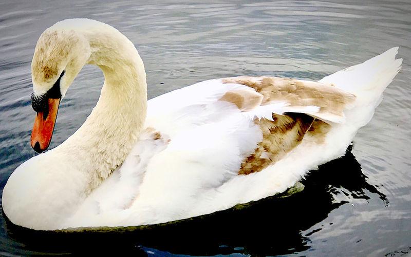Swan floating on lake