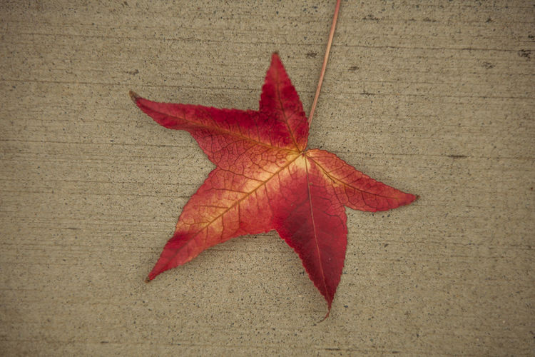 High angle view of maple leaf on red leaves