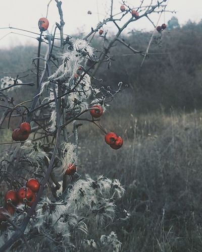 how beautiful is this Rosehips Nature Feeling Wintertime Iloveit Beautiful Beautifulday Mik Ikozosseg Vscocam Vscohungary Vscohun_mbr