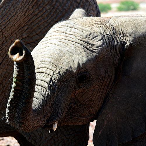 African Elephant Animal Body Part Animal Themes Animal Trunk Animal Wildlife Animals In The Wild Close-up Day Elephant Mammal Nature No People One Animal Outdoors Safari Animals Tusk EyeEmNewHere