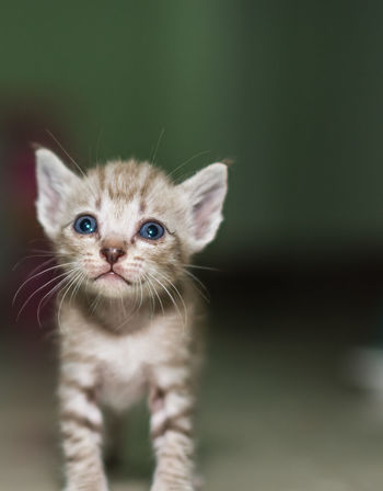 Baby Cat Animal Animal Themes Close-up Day Domestic Animals Domestic Cat Mammal No People Pets