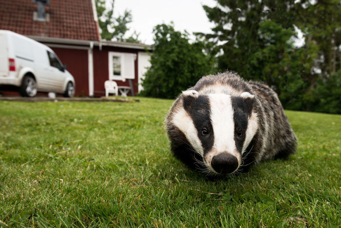 Badger foraging on lawn. Badger Badgers  Building Exterior Garden Grass Lawn Mammal Meles Meles One Animal