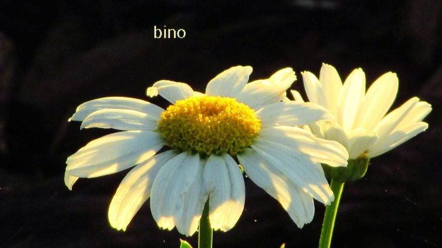 Morning Light Out Walking Around My Neighborhood Flower Head Morning Daisies Cool Lighting Effect Cadillac Michigan