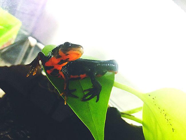 Newt アカハライモリ Japanese Fire Belly Newt 両生類 Amphibians Close-up Nature