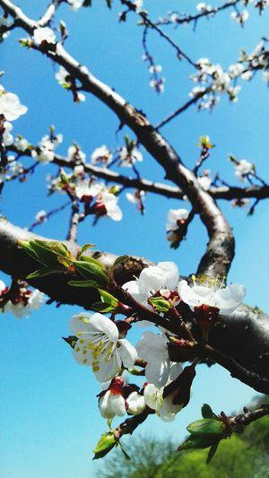 небо и облака Весна💐🌷🌿 цветы🌸🌼🌻💐🌾🌿 деревья вкуснопахнущее люблю весну Др Nature Branch Growth Tree Beauty In Nature Springtime Low Angle View Close-up Twig Freshness No People Outdoors Flower Day Sky Fragility Blossom Scenics First Eyeem Photo