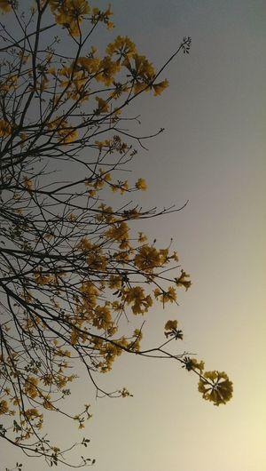 想妳的念頭~在腦海裡像黃花風鈴木般地綻放
