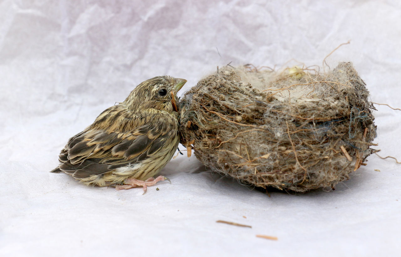 bird, animal themes, animal, vertebrate, animal wildlife, animals in the wild, group of animals, no people, young bird, young animal, close-up, two animals, sparrow, animal nest, nature, outdoors, day, high angle view