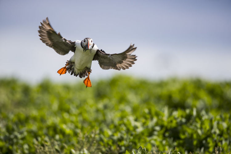 Atlantic Puffin Avian Beautiful Beautiful Nature Beauty In Nature Bird Bird In Flight Bird Photography Day Nature Outdoors Puffin