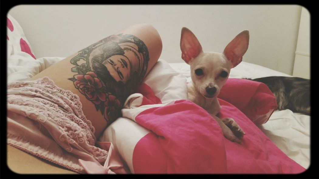 In my bed with this beautiful babybOo♡♡ Chihuahua Friends Love