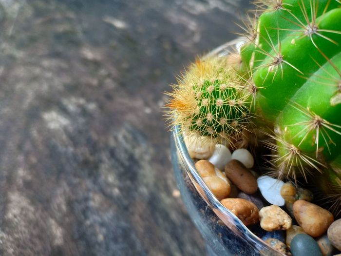 High angle view of succulent plant on table ,cactus