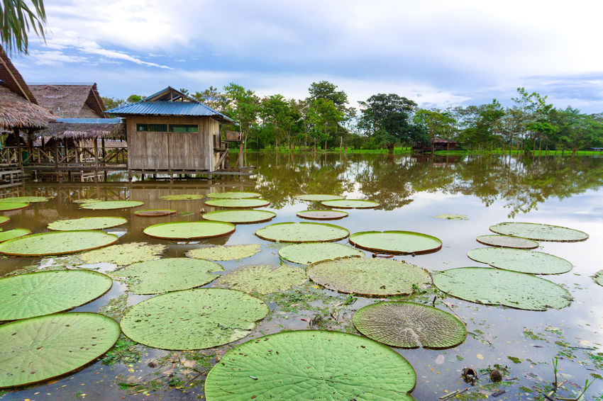 View of the Victoria Regia lily pad in the Amazon Rain Forest near Iquitos, Peru Amazon Amazonas Amazonia America Colombia Forest Jungle Lake Landscape Leaf Leticia Lily Nature Outdoors Pad Plant Rainforest Reflection Regia River South Tourism Travel Tree Victoria
