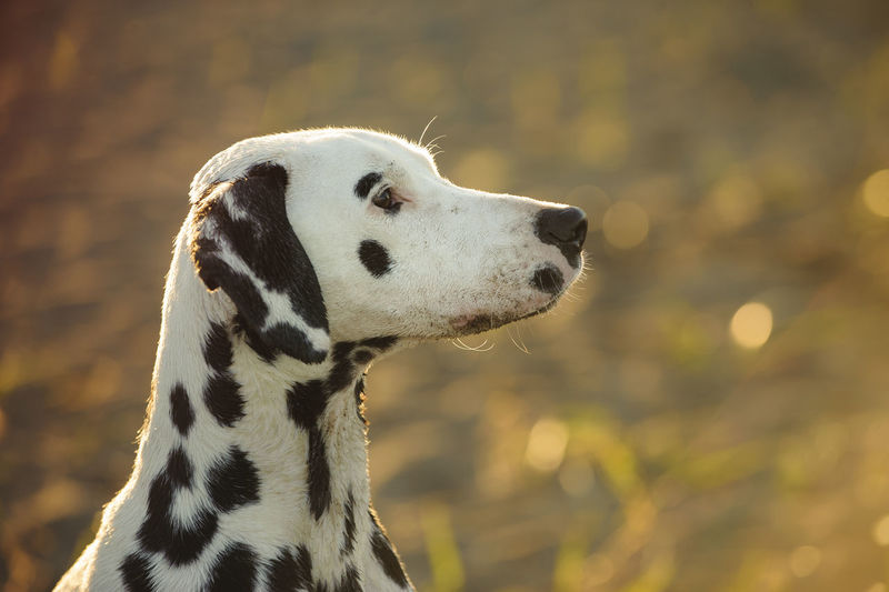 Dalmatian dog Afternoon Animal Themes Close-up Dalmatian Dalmatian Dog Day Dog No People Outdoors Pet Pets Spotted Spotted