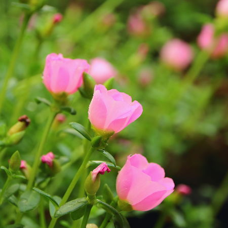 Pink Color Flower Plant Nature Beauty In Nature No People Outdoors Petal Green Color Flower Head Close-up Fragility Freshness Pinkflowers Agriculture Flowers Beauty In Nature Macro Photography Green Color Pig Weed