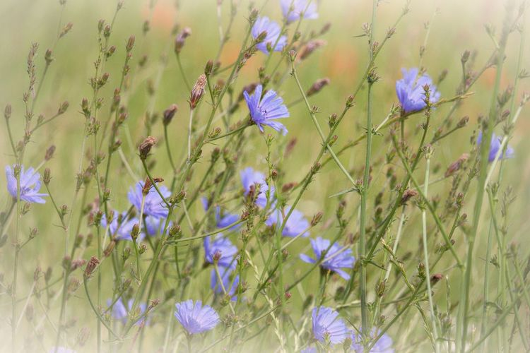 Flower Field Petal Close-up Fragility Growth Nature Freshness Beauty In Nature Vulnerability  Flowering Plant Land Selective Focus Flower Head Natural Beauty Lovely Beautiful Nature Scenics - Nature Walking Around Taking Pictures Nature Is Art Nature Is My Best Friend Nature Is My Sanctuary 🌳💚 Flowers, Nature And Beauty Meadow Meadow Flowers Fieldscape Plant Nature_collection Nature Photography Naturelovers EyeEm Gallery EyeEm Nature Lover Eye4photography  Eye4nature