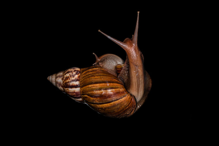Close-up of snail on black background
