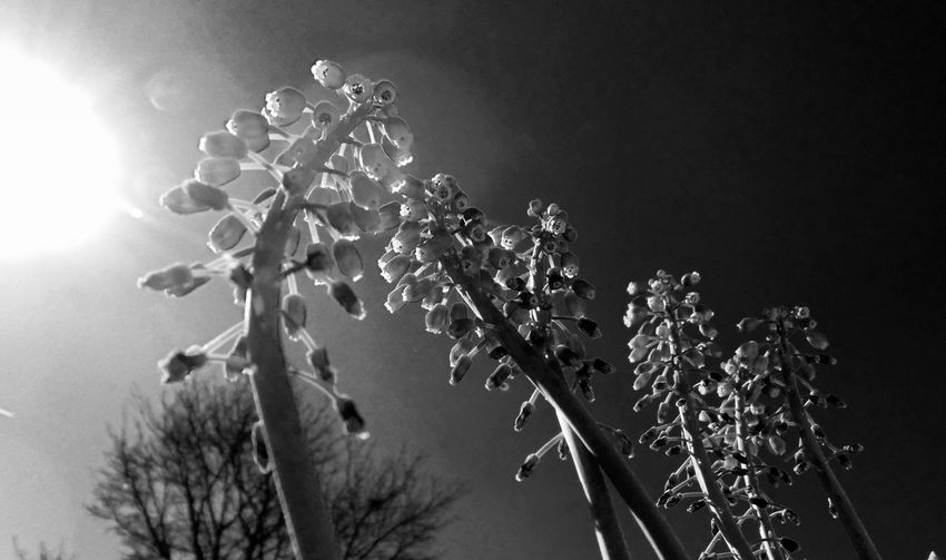 Low angle view of grape hyacinth blooming against sky
