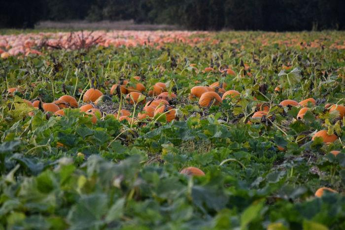 Pumpkinpatch Pumpkins PumpkinPatch🎃 Pumpkin Pumpkin Plant Pumpkin!Pumpkin! Pumpkinpie Pumpkin Seeds Pumpkinpicking Pumpkin Farm Pumpkinseason Pumpkin Leaves Orange Color Orange Orange Colour Green Leaves Green Color Green Greenleaves Green Nature Round Round Shape Round Not Square Round And Round Gourd