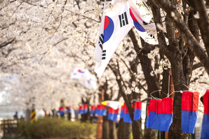 American Flag Anyangcheon Celebration Cheongsachorong Cherry Blossom Colorful Cultures Day Flag Focus On Foreground Hanging Identity Large Group Of People Multi Colored National Flag Outdoors Patriotism Pole Showcase April Spring Time Striped Tree Umbrella Wind